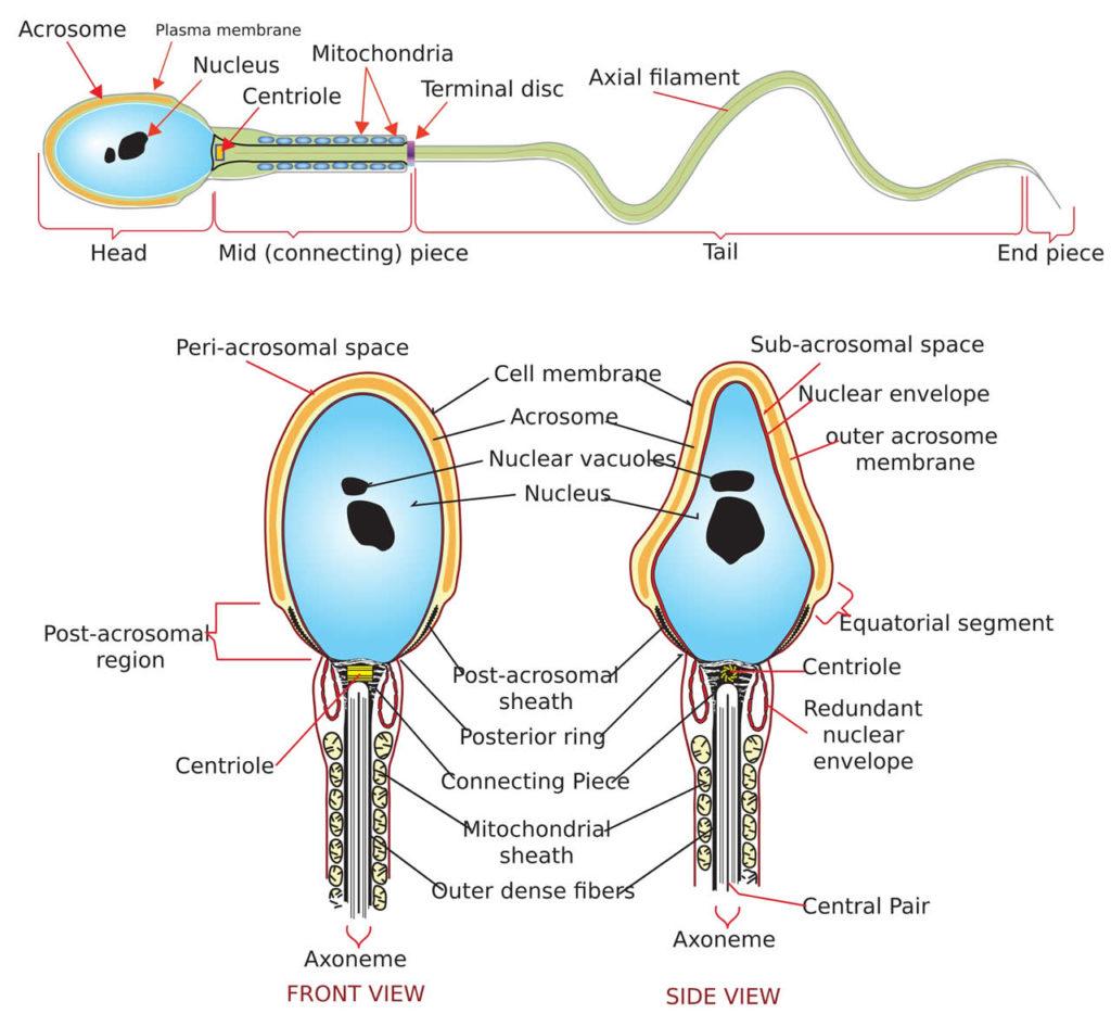 Inside a sperm